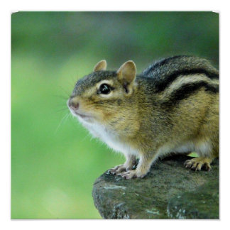 Curious Chipmunk  Poster