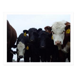 Curious Cows 9 Postcard