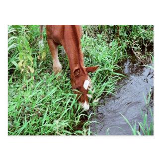 Curious Foal Postcard