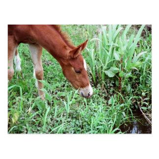 Curious Foal Postcard 2