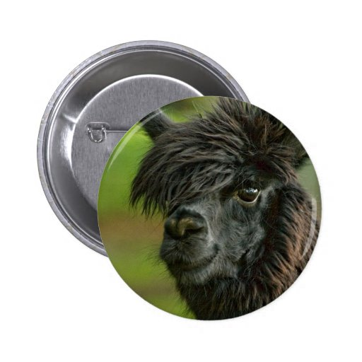 Curious Friendly Suri Alpaca - Vicugna pacos Button