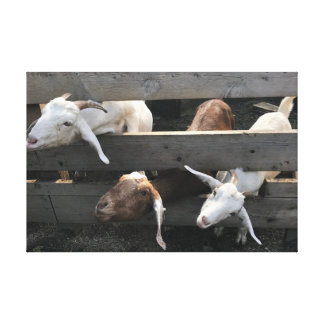 Curious Goats Canvas Print