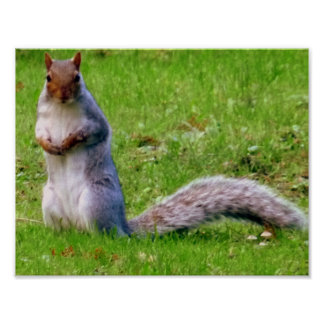 Curious Grey Squirrel Poster