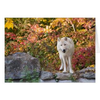 Curious Grey Wolf Card