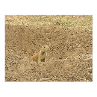 Curious Prairie Dog Postcard