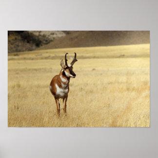 Curious Pronghorn Antelope  Print
