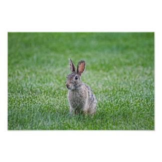 Curious Rabbit Poster