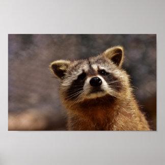 Curious Raccoon Poster