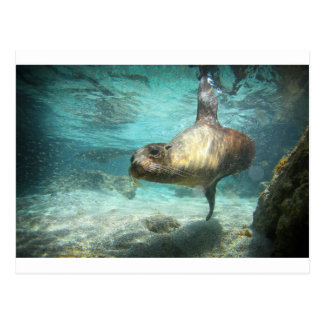 Curious sea lion Galapagos underwater Postcard