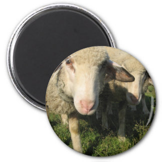 Curious sheep 2 inch round magnet