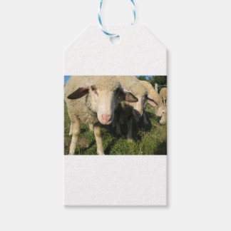Curious sheep gift tags