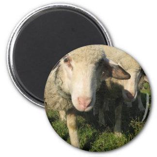 Curious sheep magnet