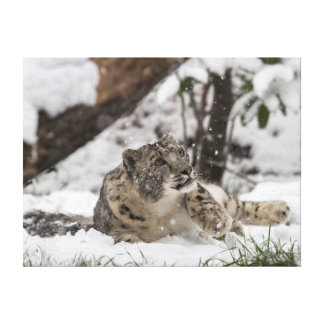Curious Snow Leopard in Snow Canvas Print