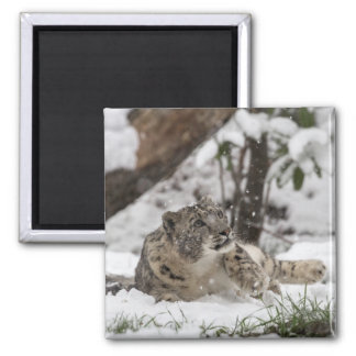 Curious Snow Leopard in Snow Magnet