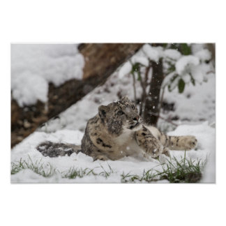 Curious Snow Leopard in Snow Poster