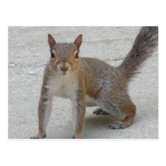 Curious Squirrel Postcard