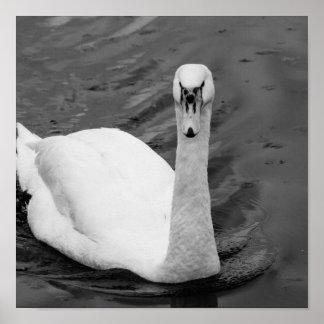 Curious swan poster