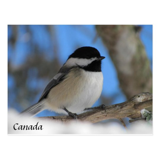 Custom Canada  bird Chickadee  Post card