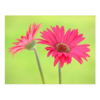 Customizable Pink Gerber Daisies on Green Postcard
