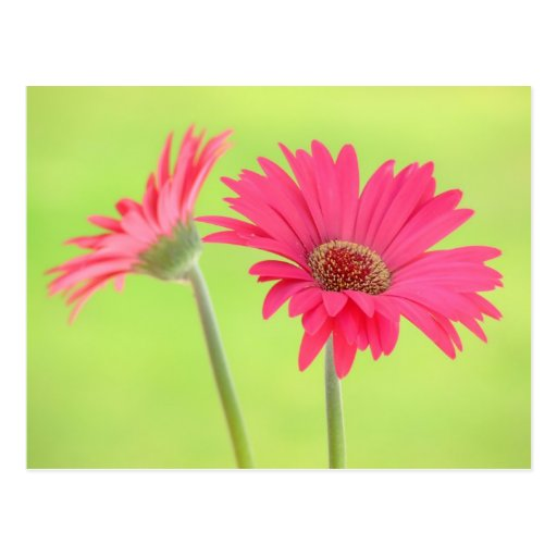 Customizable Pink Gerber Daisies on Green Post Cards