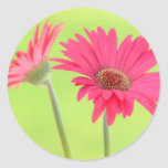 Customizable Pink Gerber Daisies on Green Round Stickers