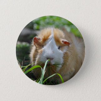 Cute, Abyssinian, Cream and White Guinea Pig 2 Inch Round Button
