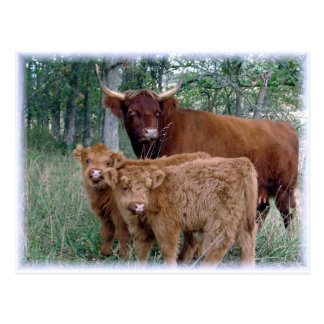 Cute and adorable fluffy fatty Highland calves Postcard