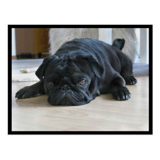 Cute and Lazy Black Pug Puppy Postcard
