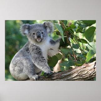 Cute Australian koala Poster