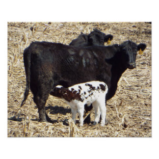 Cute Baby Calf Nursing on Mama Cow Poster