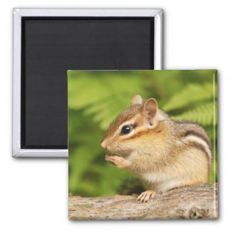 cute baby chipmunk magnet