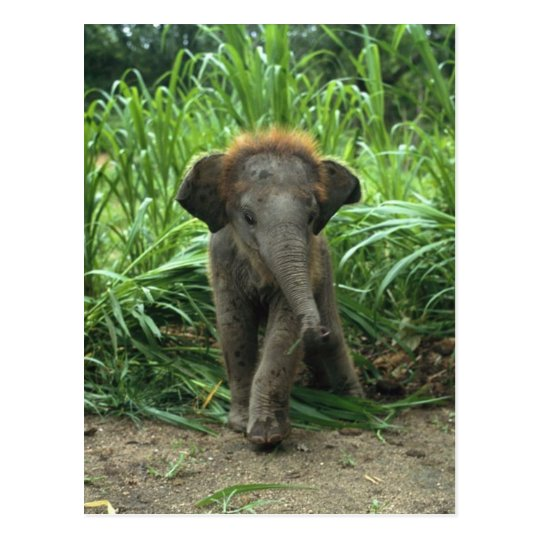 Cute Baby Elephant Postcard
