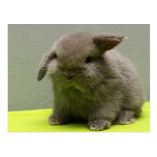 Cute Baby Holland Lop Postcard