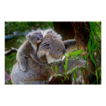 Cute baby koala bear with mom in a tree poster