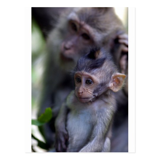 Cute baby macaque monkey postcard