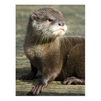 Cute Baby Otter Postcard