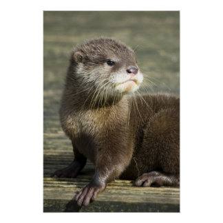 Cute Baby Otter Poster