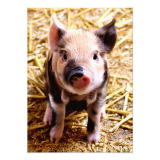 Cute Baby Pig Photographic Print