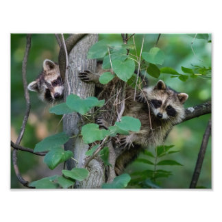 Cute Baby Raccoons Photo Print