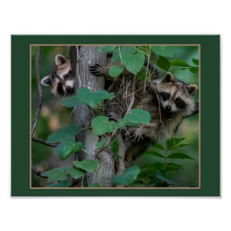Cute Baby Raccoons Poster