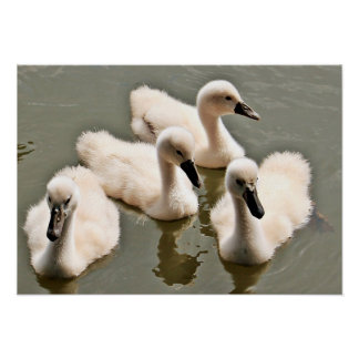 Cute baby Swans Poster