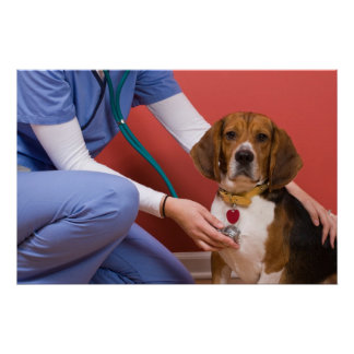 Cute Beagle Dog Getting a Veterinary Checkup Poster