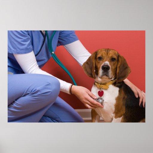 Cute Beagle Dog Getting a Veterinary Checkup Poster