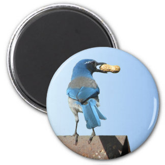 Cute Blue Scrub Jay Bird & Peanut Magnet