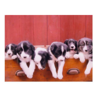 Cute Border Collie Puppies Postcard