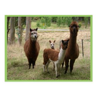 Cute Brown Alpacas In The Zoo Postcard