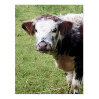 Cute Brown and White Calf (Young Cow) Postcard