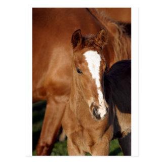 Cute brown foal post card