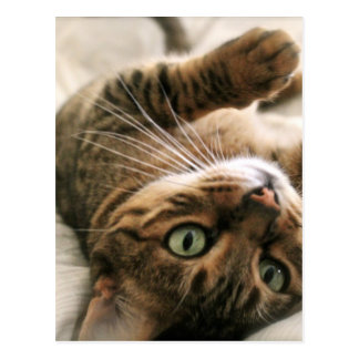 Cute Brown Spotted Bengal Cat Kitten Lying in Bed Postcard