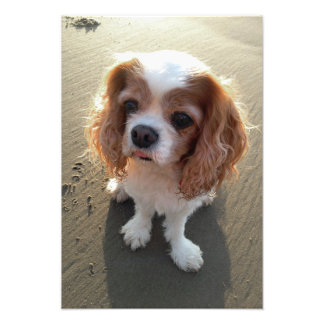 Cute Cavalier King Charles Spaniel Dog at Beach Photo Print